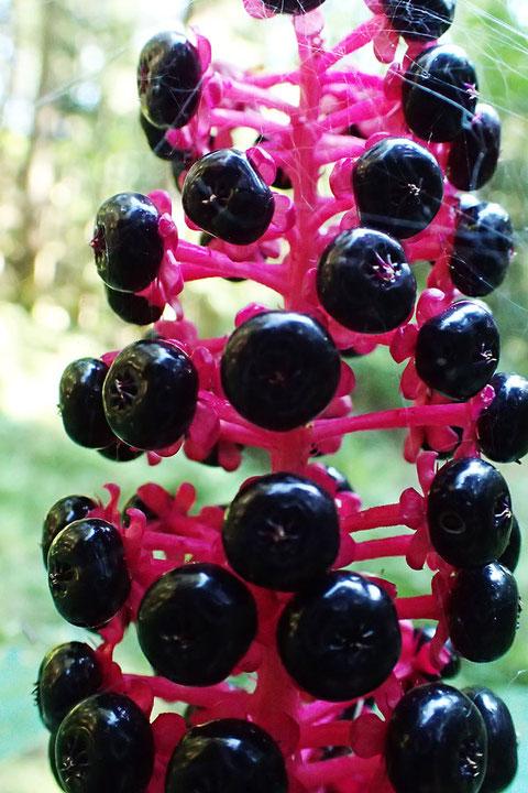マルミノヤマゴボウの光沢があり黒紫色の果実は分果せず、ほぼ球形