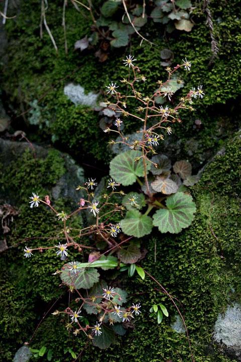 #15 ホシザキユキノシタは湿気のある、苔むした岩が好きなようです