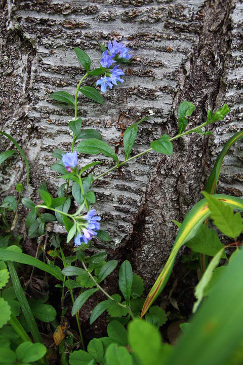 ホタルカズラが蔓性であることが、わかり易い形で咲いていました