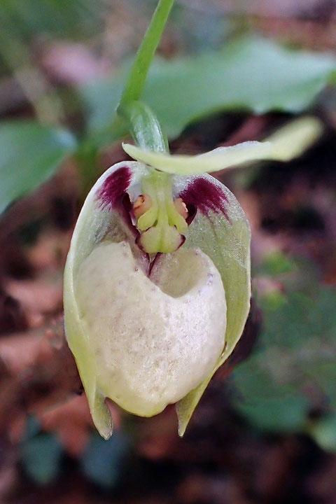 シナノコアツモリソウは、唇弁に暗紫色の脈がありません