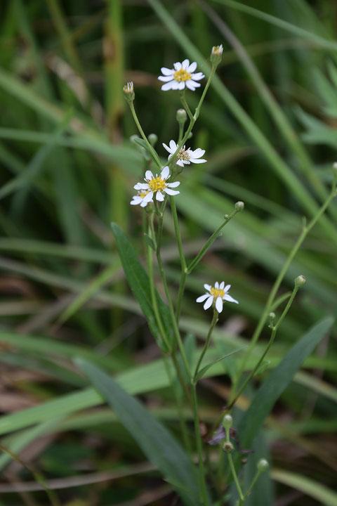 サワシロギク (沢白菊) キク科 シオン属  湿原の中にちらほら咲いていました