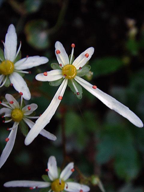 花弁に非常に低い鋸歯がある個体もいました。
