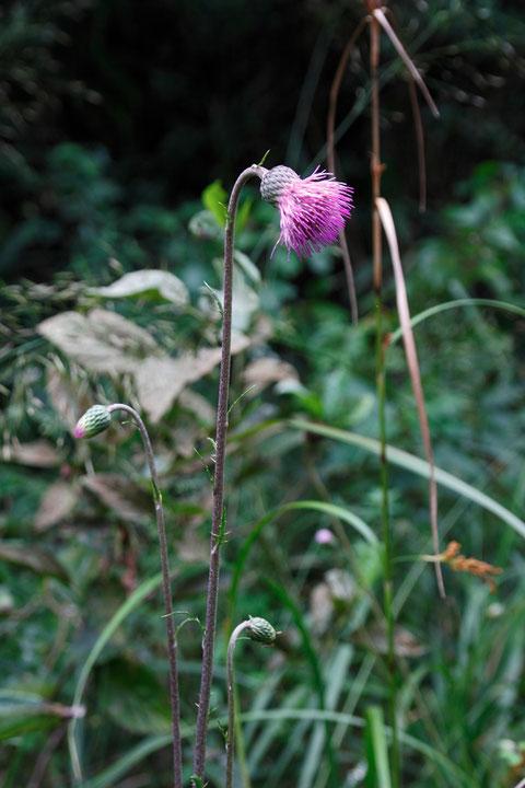 キセルアザミ (煙管薊) キク科 アザミ属