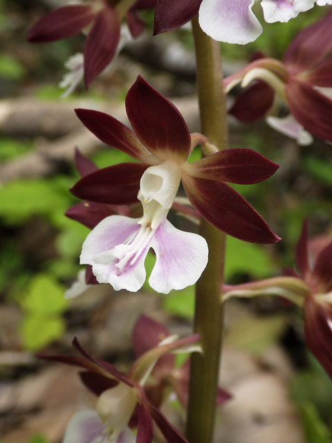 エビネ ダークブラウンの萼片・側花弁に薄ピンクの唇弁のコントラストが素晴らしい