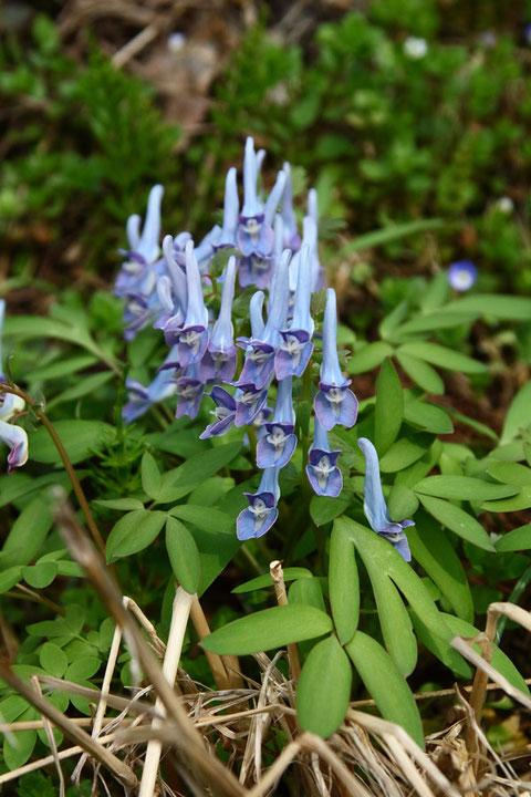 #3 ヤマエンゴサクの花の色は変化に富む  2014.04.19 長野市