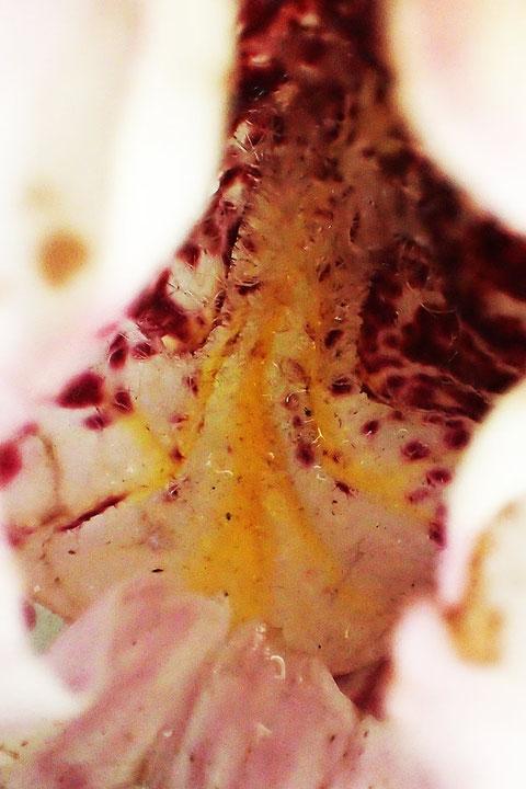 クマガイソウの唇弁底部には、やはり、蜜らしきものが!