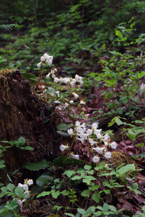 ヤマイワカガミ (山岩鏡) イワウメ科 イワカガミ属