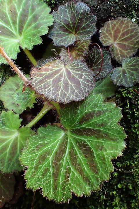 #23 ホシザキユキノシタの葉には白い斑紋が入らない
