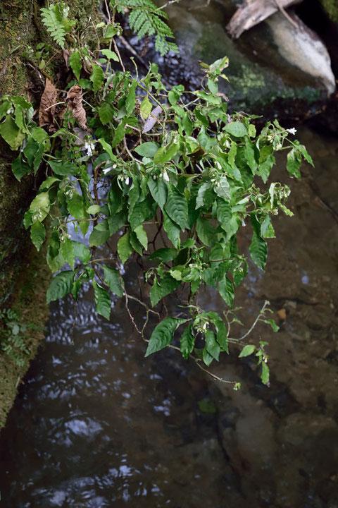 沢に浸かりそうな場所に咲いていたサツマイナモリ