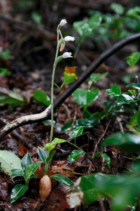 オオミヤマウズラ  3株咲いていました