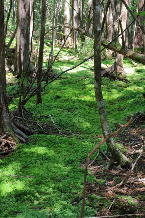 苔の森 なんだか落ち着く