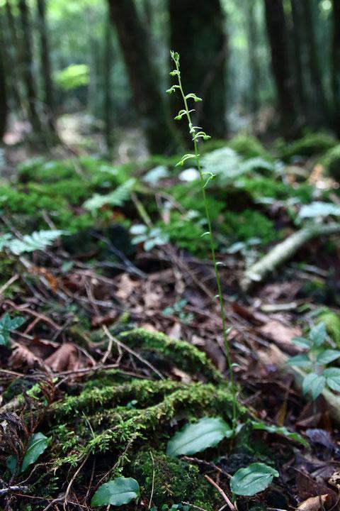 ジンバイソウ (神拝草) ラン科 ツレサギソウ属