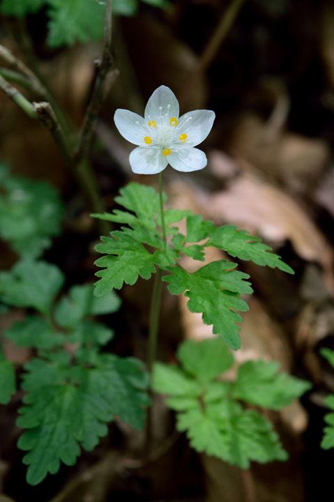 シロカネソウ 白い花弁に見える部分は、萼片です。 花弁は黄色っぽい部分です。