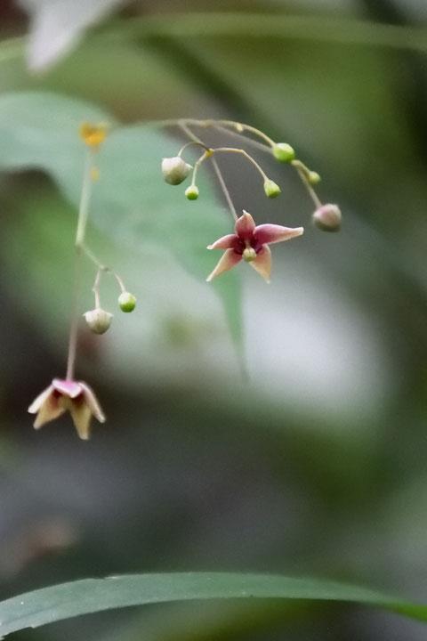 少し色が薄いクサナギオゴケの花があった