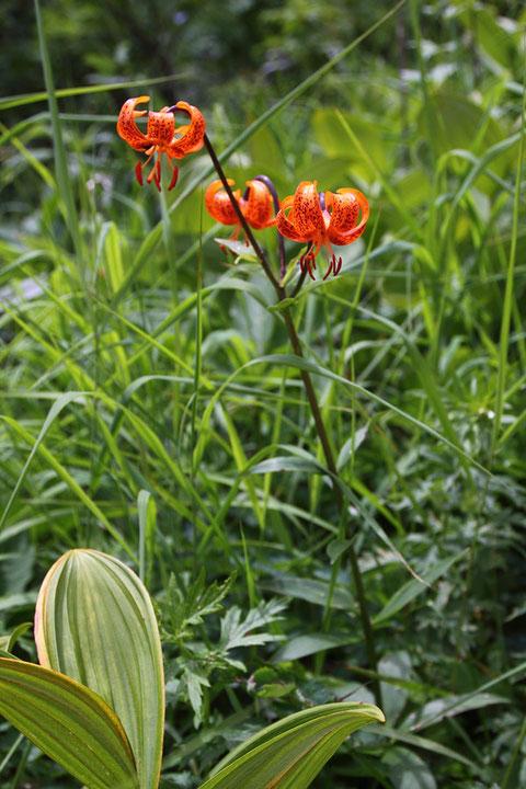クルマユリ (車百合) ユリ科 ユリ属  見頃 他に似た色合いの花はなかった