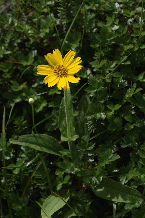 ウサギギク (兎菊) キク科 ウサギギク属  兎の耳を思わせる葉の形が名の由来