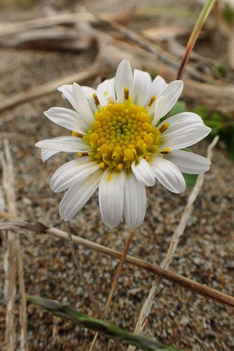 ハマベノギクの白花もあった!