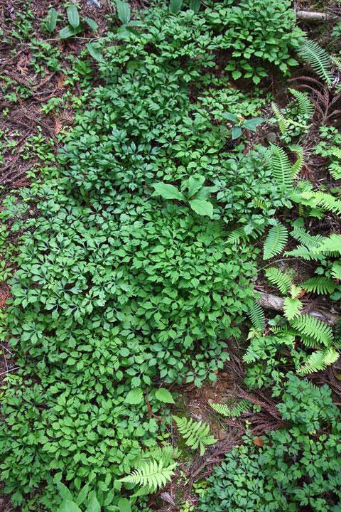エンシュウハグマの葉が、ものすごい数と密度だ! 花の季節にまた来よう!