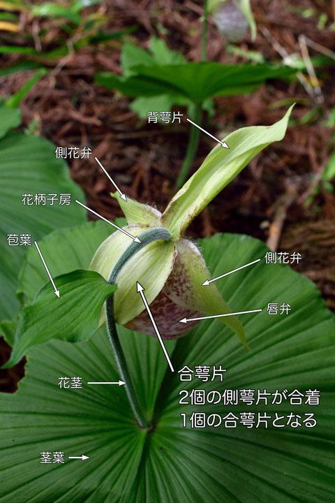 クマガイソウの合萼片(背萼片、側花弁、合萼片、唇弁、苞葉、花茎、茎葉)