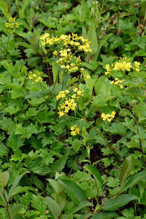 ハクサンオミナエシ (白山女郎花) スイカズラ科 オミナエシ属