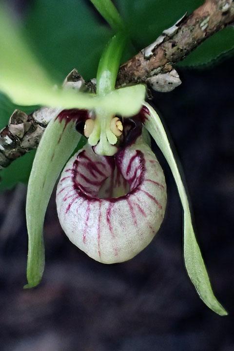 花は開花直後で、各部はとてもフレッシュ。薄クリーム色の花粉塊も見える
