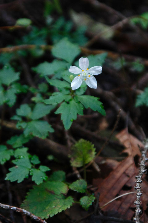 シロカネソウ (白銀草) 花期は6〜8月なので、咲き残っていたのが不思議