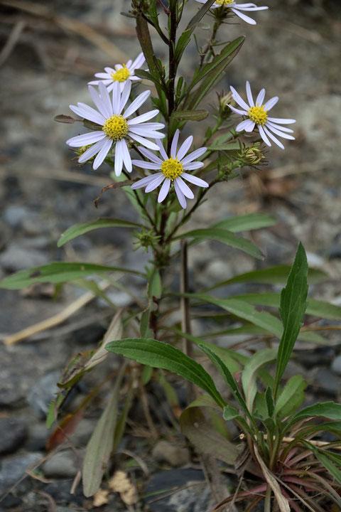 カワラノギクの根生葉は花期には枯れ、茎葉のみになっています