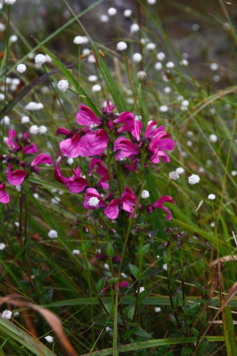 ミカワシオガマは、三河地方、細かくは伊勢湾地域の固有種です。 半寄生植物。
