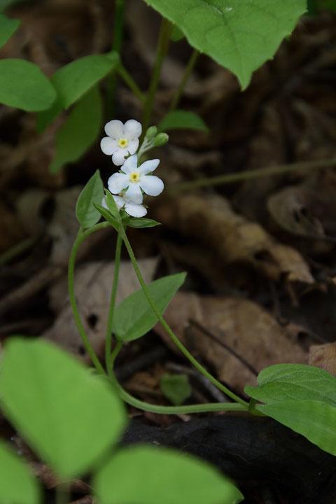 ツルカメバソウは茎も葉もとても柔らかく、デリケートな植物です