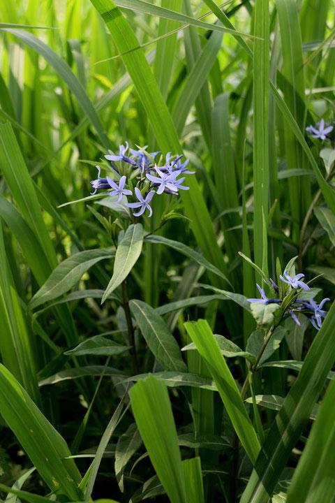 チョウジソウの花は、「爽やかブルー」