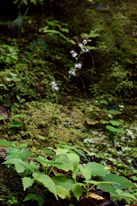 ヒトツバショウマは、静岡・神奈川・山梨の3県の山地の谷沿いに生えます