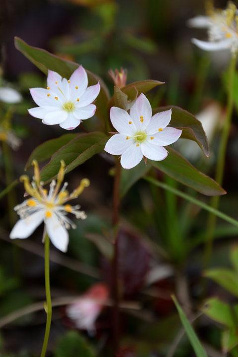 ツマトリソウ (褄取草) サクラソウ科 ツマトリソウ属  花弁は普通は6個