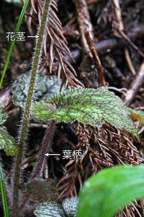#6 茎葉の基部と葉柄には長毛が生える