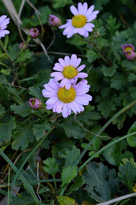 コハマギクの高さは10〜50cm、頭花の直径は4〜5cmほどで名の通り、ハマギクより小振り