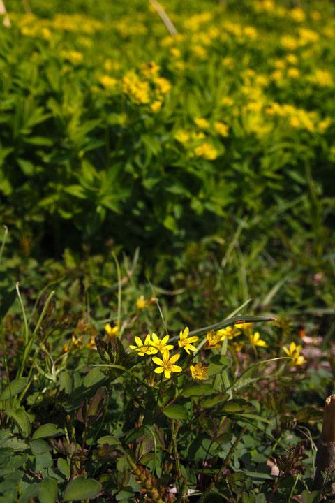ヒメアマナ 背後の黄色い花に見えるのはノウルシ