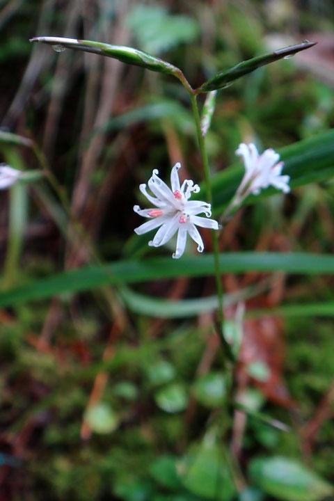 キッコウハグマ (龜甲白熊) キク科 モミジハグマ属 一つの頭花に3個の小花