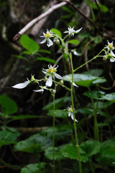ハルユキノシタの花序は集散状