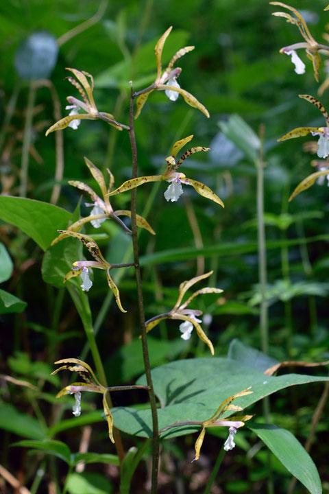 トケンラン 高さは35〜45cmで、茎の中〜上部にまばらに花をつけます