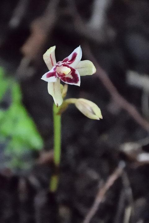マヤラン  開花した花もチラホラ