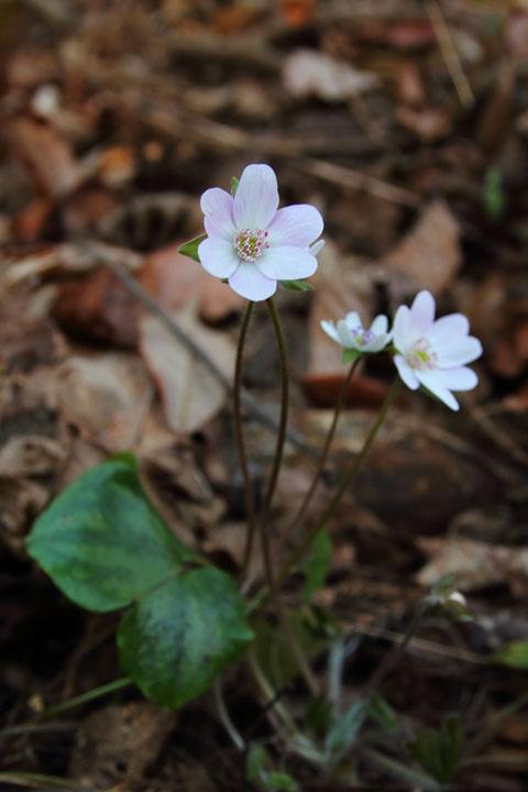 オオミスミソウの花弁に見る部分は萼片で、萼片のすぐ下で緑色の萼片に見える部分は、茎葉です。
