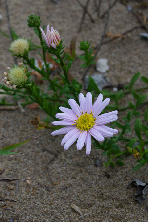 ハマベノギク 淡い桃色の花もあった!