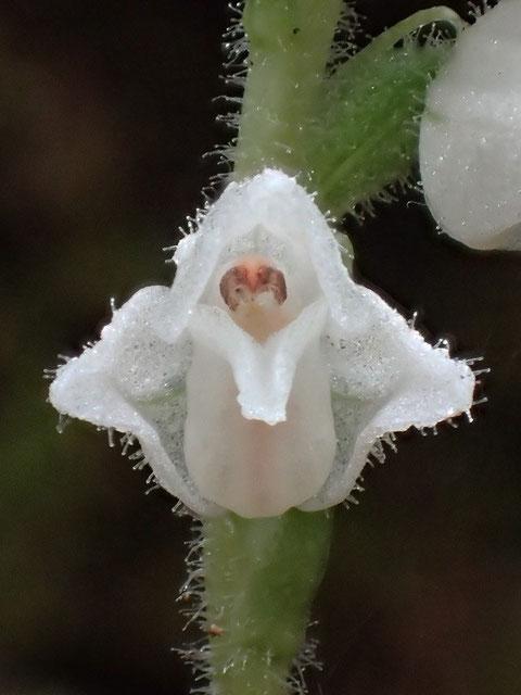 茎・花茎・花の外側は、細かく透明感のある毛が生えていました