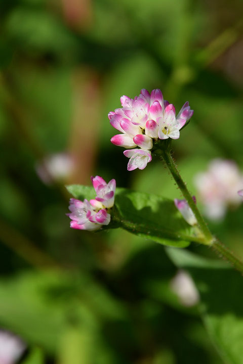ミゾソバはこの時期よく見かけますが、好きな花です