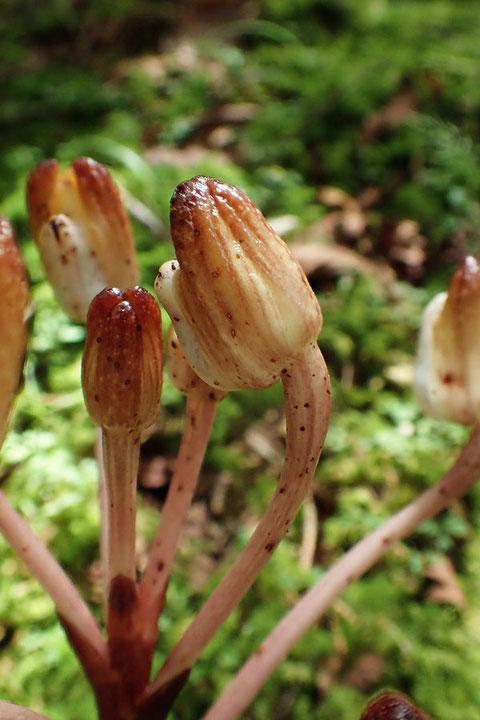 キバナノショウキラン  この花は蕾の状態が一番美しいかも