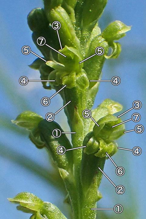 #13 ニラバランの花の構造