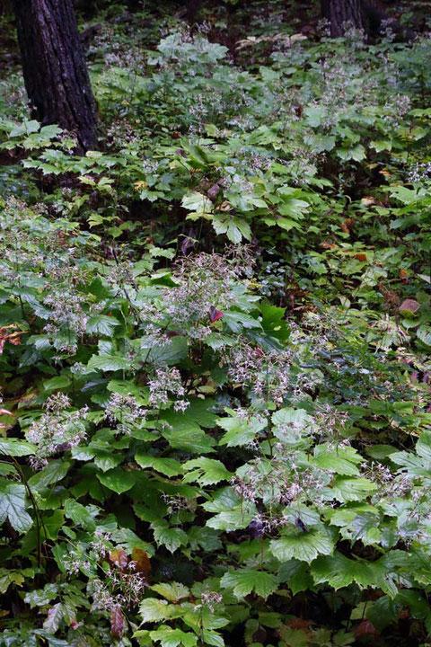 オヤリハグマが斜面に多数群生している場所も。 見頃の時期ならきっと見事だったでしょう