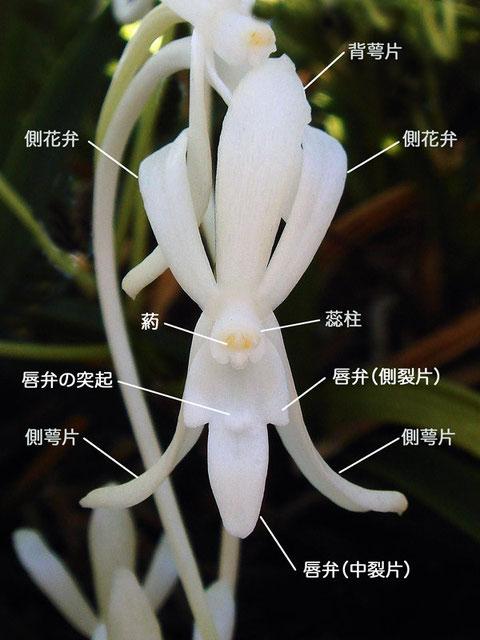 フウランの花の正面