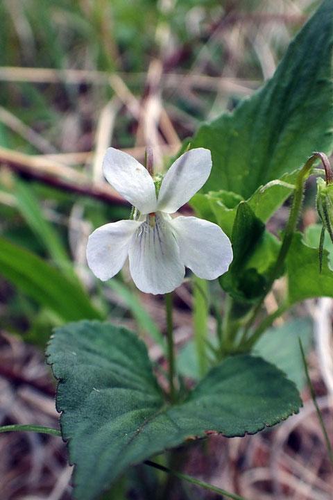 エゾノタチツボスミレ (蝦夷の立坪菫) スミレ科 タチツボスミレ類 白花