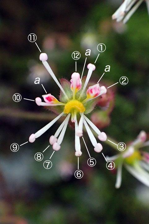#9 下側2花弁が雄しべに変化したホシザキユキノシタの花