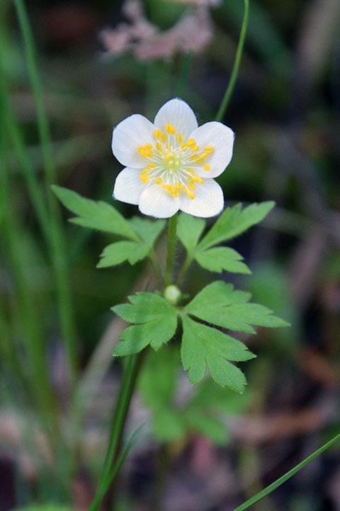 サンリンソウ 草刈りされたためか、小さめの個体が多かった。 この花は6個の萼片があった